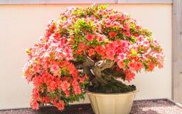 Μικρό δέντρο μπονσάι με τα κόκκινα λουλούδια Στοκ φωτογραφία με δικαίωμα ελεύθερης χρήσης