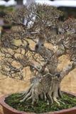 Μικρό δέντρο μπονσάι σε ένα κεραμικό δοχείο και ένα υπόβαθρο φύσης Στοκ εικόνα με δικαίωμα ελεύθερης χρήσης
