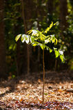 Μικρό δέντρο στο δάσος Στοκ Φωτογραφία