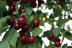 Μικρό δέντρο το φθινόπωρο 2 της Apple Στοκ Φωτογραφία