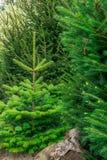 Μικρό έλατο nordmann στο δάσος Στοκ εικόνες με δικαίωμα ελεύθερης χρήσης