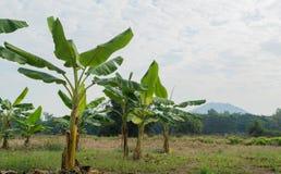 Μικρό αγρόκτημα μπανανών Στοκ Φωτογραφίες