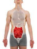 Μικρό αρσενικό εντέρων - εσωτερική ανατομία οργάνων - τρισδιάστατη απεικόνιση Στοκ Εικόνες