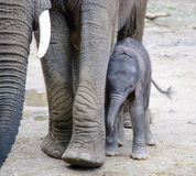 Μικρό αφρικανικό μωρό ελεφάντων Στοκ Εικόνα