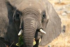 Μικρό αφρικανικό πορτρέτο ελεφάντων Στοκ Φωτογραφίες