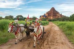 Μικρό βιρμανός αγόρι που οδηγεί ένα oxcart κατά τη διάρκεια της ανατολής σε Bagan, το Μιανμάρ Στοκ Εικόνες