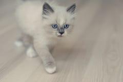 Μικρό γατάκι Ragdoll στοκ εικόνες με δικαίωμα ελεύθερης χρήσης