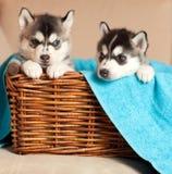 Δύο κουτάβια σε ένα καλάθι Στοκ Φωτογραφίες