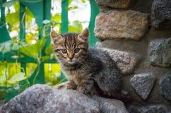 Μικρό γκρίζο μιγία γατάκι στοκ εικόνες με δικαίωμα ελεύθερης χρήσης
