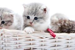 Μικρό γκρίζο χνουδωτό λατρευτό γατάκι που είναι περίεργο και που κοιτάζει στην πλευρά ενώ άλλοι που παίζουν μαζί στην άσπρη λυγαρ Στοκ Φωτογραφίες