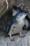 Μικρό γκρίζο penguin Στοκ Εικόνα