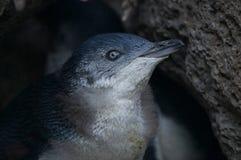 Μικρό γκρίζο penguin Στοκ φωτογραφία με δικαίωμα ελεύθερης χρήσης