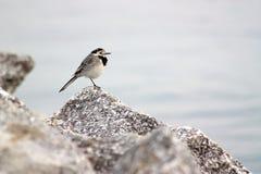 Μικρό γραπτό πουλί στην πέτρα Στοκ φωτογραφία με δικαίωμα ελεύθερης χρήσης