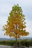 Μικρό δέντρο σφενδάμνου το φθινόπωρο Στοκ Εικόνες