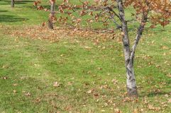 Μικρό δέντρο φθινοπώρου στο δρόμο πόλεων με το πράσινο πρώτο πλάνο χορτοταπήτων χλόης Στοκ εικόνα με δικαίωμα ελεύθερης χρήσης