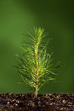 μικρό δέντρο φυτών πεύκων Στοκ Εικόνες