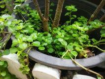 Μικρό δοχείο φυτών φύλλων Στοκ Εικόνες