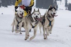 μικρό επιτραπέζιο χωριό ελκήθρων της Πολωνίας pasterka musher βουνών σκυλιών σκυλιών στοκ εικόνες