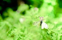 Μικρό λευκό πεταλούδων λάχανων στο λουλούδι Στοκ Εικόνες