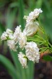 μικρό λευκό τριαντάφυλλω& Στοκ Φωτογραφίες