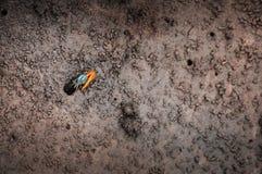 Μικρό ζωηρόχρωμο καβούρι Fiddler - καβούρι φαντασμάτων - uca vocans επάνω Koh Στοκ φωτογραφίες με δικαίωμα ελεύθερης χρήσης