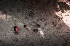 Μικρό ζωηρόχρωμο καβούρι Fiddler - καβούρι φαντασμάτων - uca vocans επάνω Koh Στοκ εικόνα με δικαίωμα ελεύθερης χρήσης