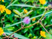 Μικρό διαμορφωμένο βελόνα λουλούδι στον κήπο Στοκ Εικόνες