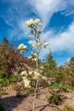Μικρό κίτρινο δέντρο τουλιπών στοκ φωτογραφία