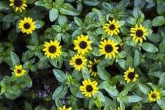 Μικρό κίτρινο να συρθεί Zinnia, τοπ άποψη Sanvitalia λουλουδιών Στοκ Εικόνες