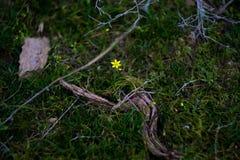 Μικρό κίτρινο λουλούδι μεταξύ των βράχων βουνών Στοκ φωτογραφίες με δικαίωμα ελεύθερης χρήσης