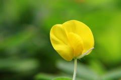 Μικρό κίτρινο λουλούδι (Arachis duranensis) Στοκ εικόνα με δικαίωμα ελεύθερης χρήσης