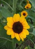 Μικρό κίτρινο χρώμα λουλουδιών ήλιων Στοκ Εικόνες