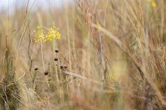 Μικρό κίτρινο Allium κρεμμυδιών flavum στη στέπα χλόης Στοκ Εικόνες