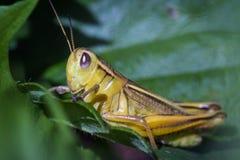 Μικρό κίτρινο grasshopper Στοκ Φωτογραφίες