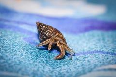 Μικρό καβούρι ερημιτών με το όμορφο μαύρο κοχύλι του σε ένα μπλε υπόβαθρο Στοκ εικόνες με δικαίωμα ελεύθερης χρήσης
