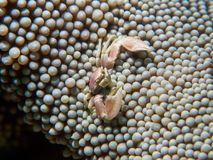 Μικρό καβούρι σε ένα Anemone Στοκ Εικόνα