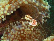 Μικρό καβούρι σε ένα anemone Στοκ φωτογραφία με δικαίωμα ελεύθερης χρήσης