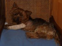 Μικρό καφετί σκυλί με ένα επιδεμένο μπροστινό πόδι Στοκ Εικόνες