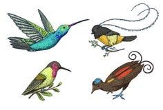 Μικρό κολίβριο Καστανοκοκκινωπό και άσπρος-necked Jacobin, πουλί του παραδείσου Εξωτικά τροπικά ζωικά εικονίδια Χρυσός που παρακο Στοκ εικόνες με δικαίωμα ελεύθερης χρήσης