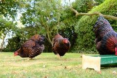 Μικρό κοπάδι των εσωτερικών κοτόπουλων Wyandotte που βλέπουν τη σίτιση σε έναν ιδιωτικό κήπο στοκ φωτογραφία με δικαίωμα ελεύθερης χρήσης