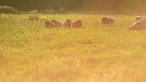 Μικρό κοπάδι των προβάτων σε ένα λιβάδι στο φως ηλιοβασιλέματος απόθεμα βίντεο