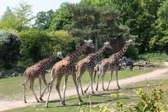 Μικρό κοπάδι giraffes Στοκ Εικόνα