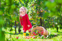 Μικρό κορίτσι δίπλα τοποθετημένο αιχμή πέρα από το καλάθι μήλων Στοκ Εικόνα