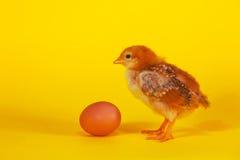 Μικρό κοτόπουλο που μένει με το αυγό Πάσχας Στοκ Εικόνες