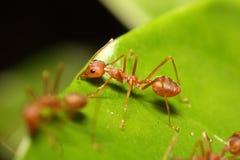 Μικρό κόκκινο μυρμήγκι που εργάζεται στο δέντρο Στοκ Φωτογραφίες