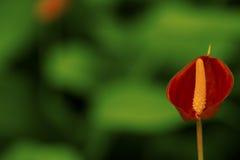 Μικρό κόκκινο Anthurium λουλούδι Στοκ εικόνες με δικαίωμα ελεύθερης χρήσης