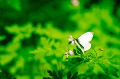 Μικρό λευκό πεταλούδων λάχανων στο λουλούδι Στοκ Φωτογραφία