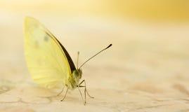 μικρό λευκό πεταλούδων Στοκ Εικόνες