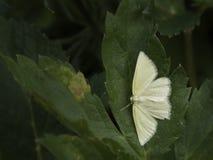 μικρό λευκό φύλλων πεταλ&omi στοκ εικόνες