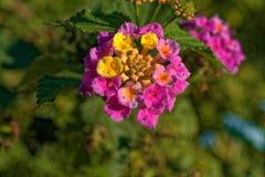Μικρό λουλούδι που γίνεται από τα πολλαπλάσια μικρότερα λουλούδια στοκ εικόνα